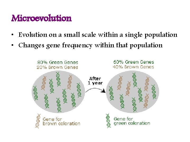 Microevolution • Evolution on a small scale within a single population • Changes gene