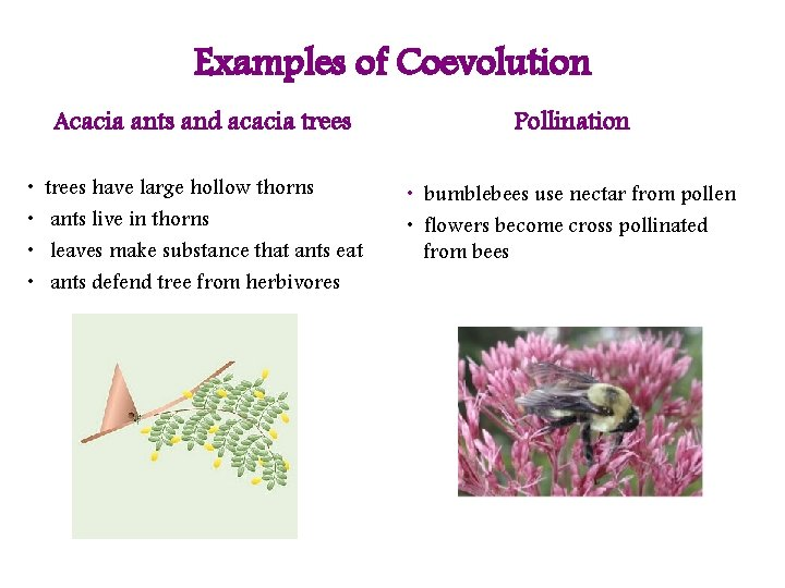 Examples of Coevolution • • Acacia ants and acacia trees Pollination trees have large