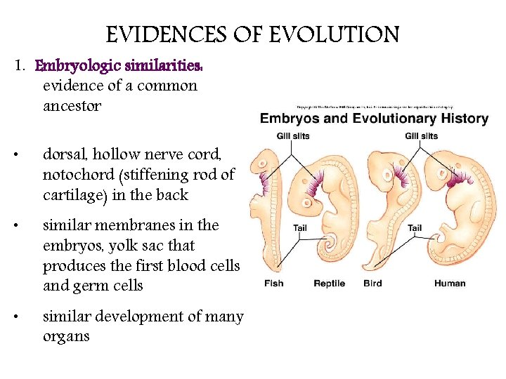 EVIDENCES OF EVOLUTION 1. Embryologic similarities: evidence of a common ancestor • dorsal, hollow