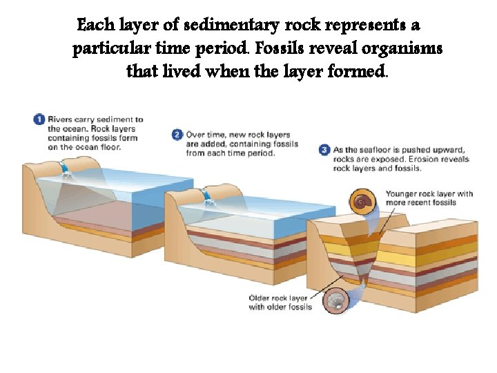 Each layer of sedimentary rock represents a particular time period. Fossils reveal organisms that