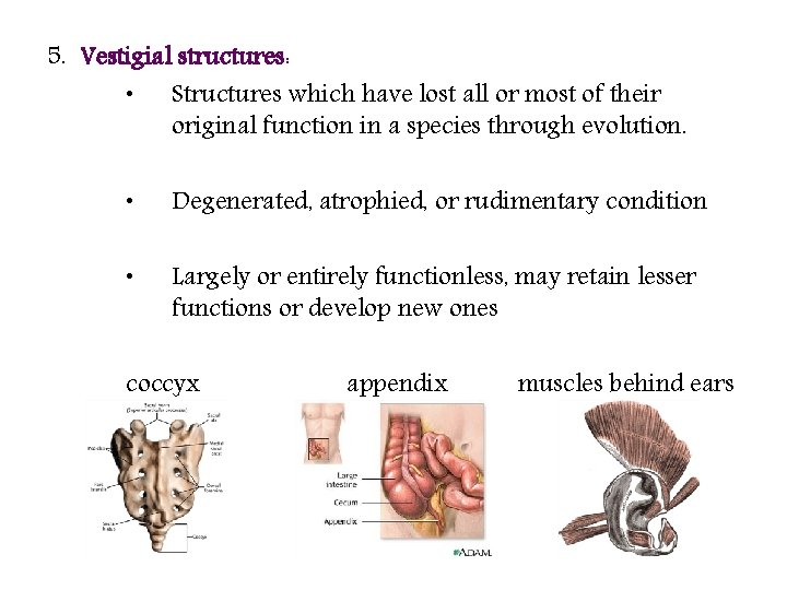 5. Vestigial structures: • Structures which have lost all or most of their original