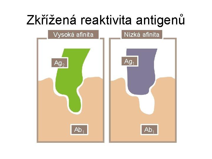 Zkřížená reaktivita antigenů Vysoká afinita Nízká afinita Ag 2 Ag 1 Ab 1