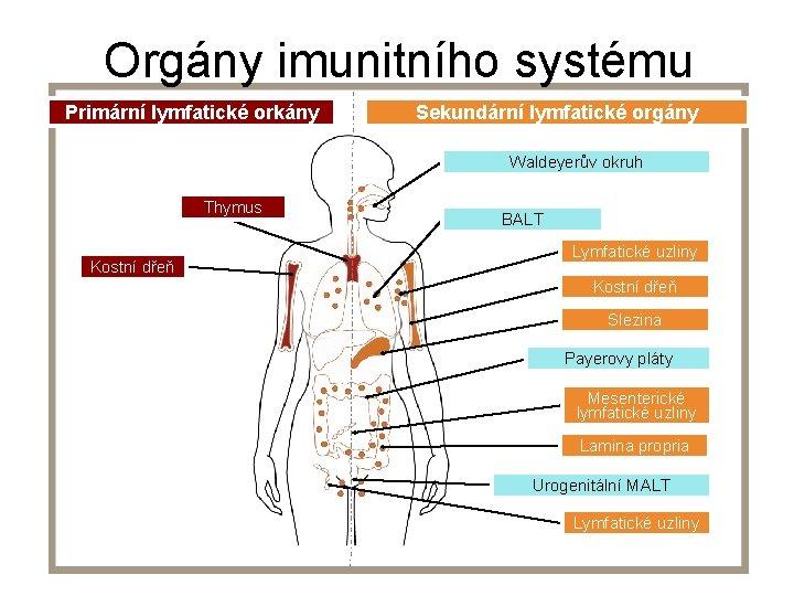 Orgány imunitního systému Primární lymfatické orkány Sekundární lymfatické orgány Waldeyerův okruh Thymus Kostní dřeň