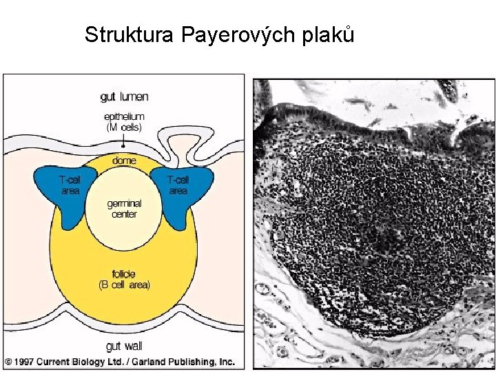 Struktura Payerových plaků