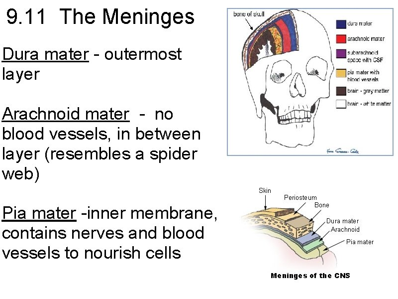 9. 11 The Meninges Dura mater - outermost layer Arachnoid mater - no blood