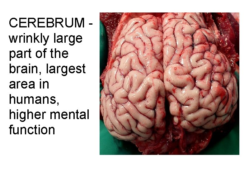 CEREBRUM - wrinkly large part of the brain, largest area in humans, higher mental