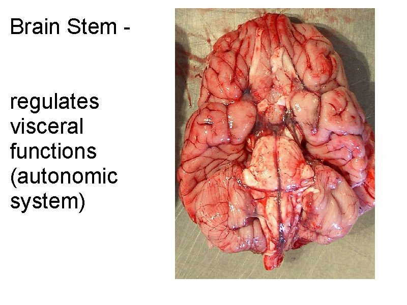 Brain Stem - regulates visceral functions (autonomic system)