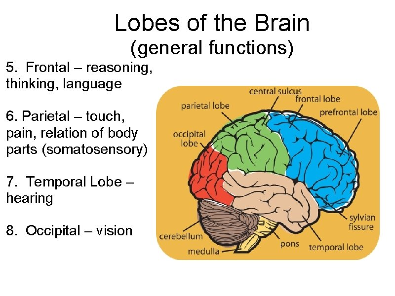 Lobes of the Brain (general functions) 5. Frontal – reasoning, thinking, language 6. Parietal