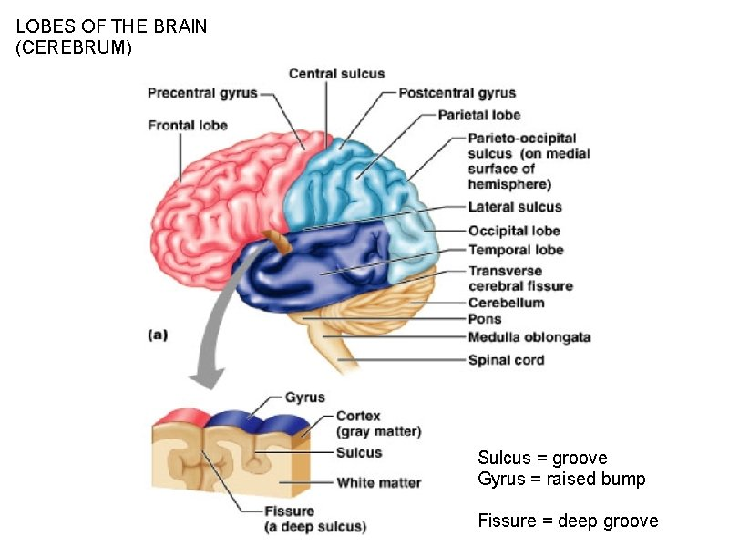 LOBES OF THE BRAIN (CEREBRUM) Figure 13. 7 a Sulcus = groove Gyrus =