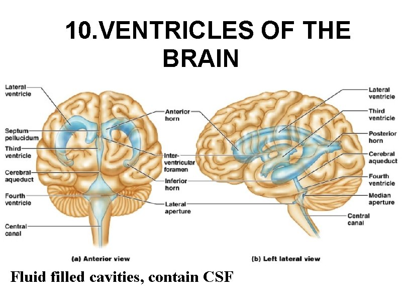 10. VENTRICLES OF THE BRAIN Fluid filled cavities, contain CSF