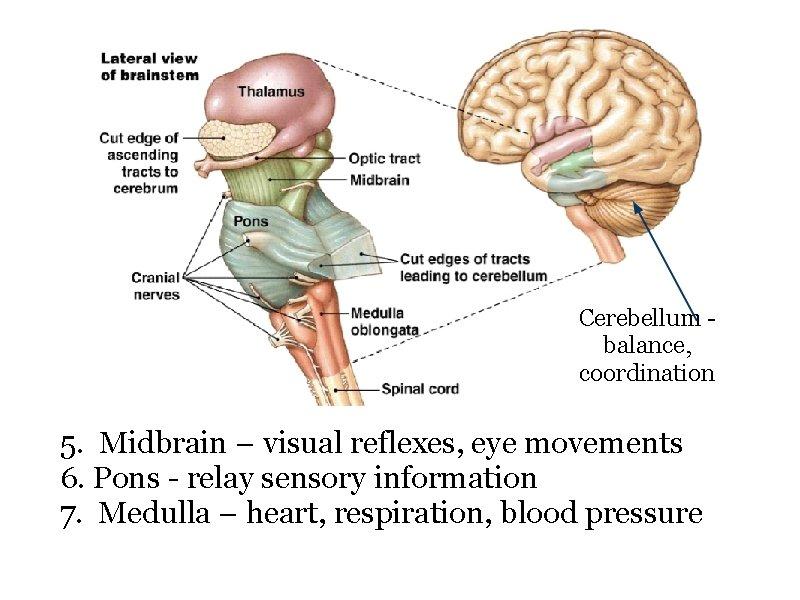 Cerebellum - balance, coordination 5. Midbrain – visual reflexes, eye movements 6. Pons -