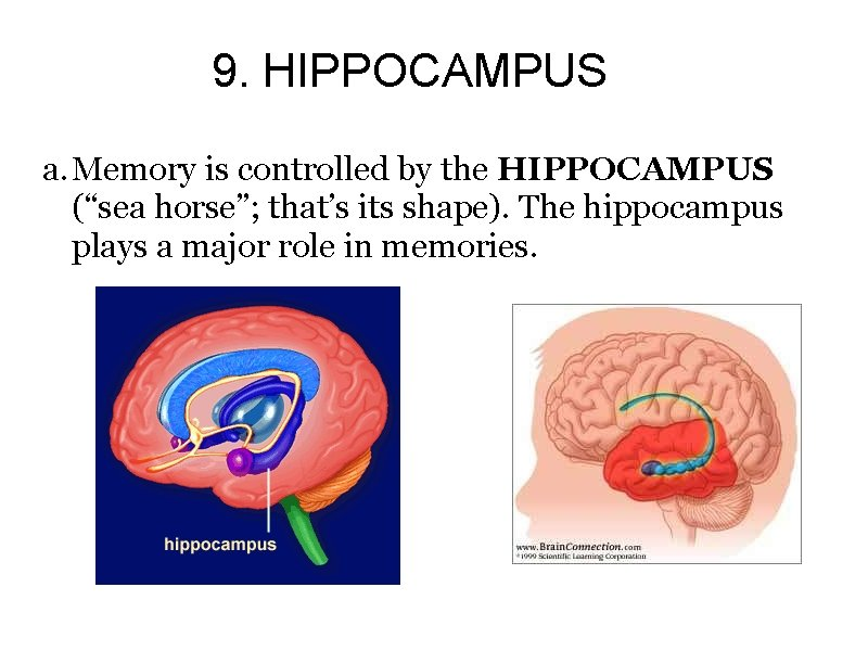 """9. HIPPOCAMPUS a. Memory is controlled by the HIPPOCAMPUS (""""sea horse""""; that's its shape)."""