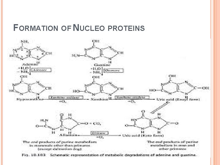 FORMATION OF NUCLEO PROTEINS