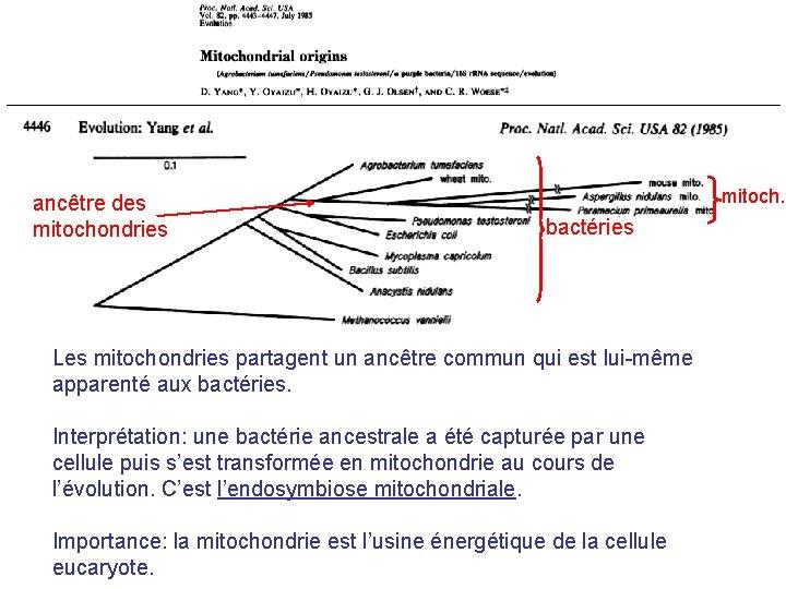ancêtre des mitochondries mitoch. bactéries Les mitochondries partagent un ancêtre commun qui est lui-même