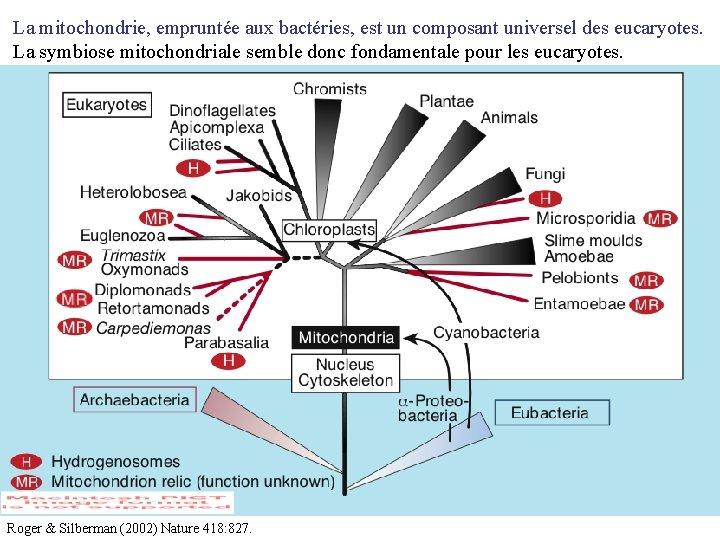 La mitochondrie, empruntée aux bactéries, est un composant universel des eucaryotes. La symbiose mitochondriale