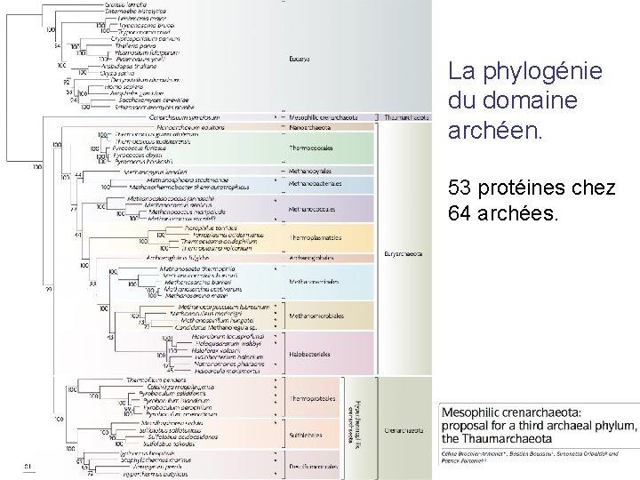 La phylogénie du domaine archéen. 53 protéines chez 64 archées.