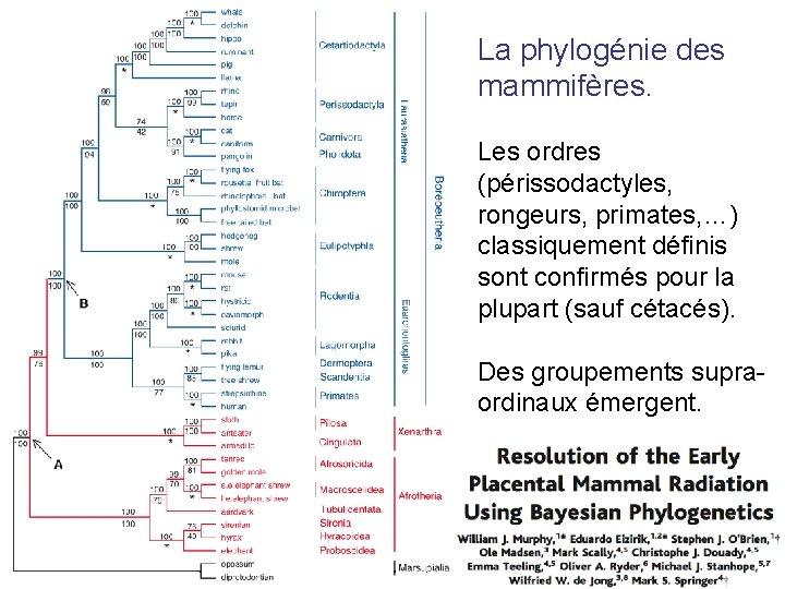 La phylogénie des mammifères. Les ordres (périssodactyles, rongeurs, primates, …) classiquement définis sont confirmés