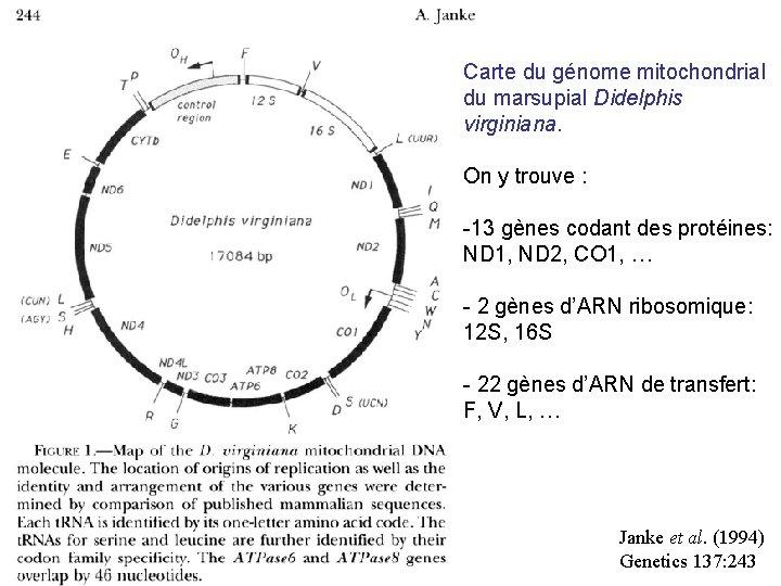 Carte du génome mitochondrial du marsupial Didelphis virginiana. On y trouve : -13 gènes