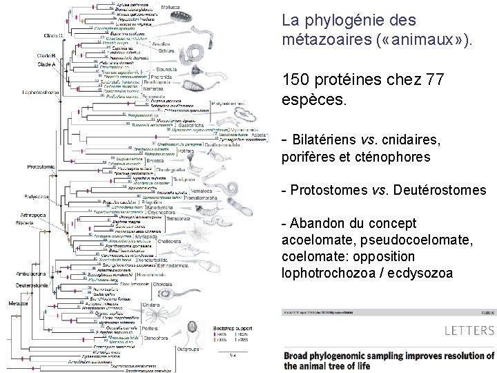 La phylogénie des métazoaires ( «animaux» ). 150 protéines chez 77 espèces. - Bilatériens
