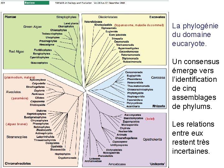 (trypanosome, maladie du sommeil) Un consensus émerge vers l'identification de cinq assemblages de phylums.