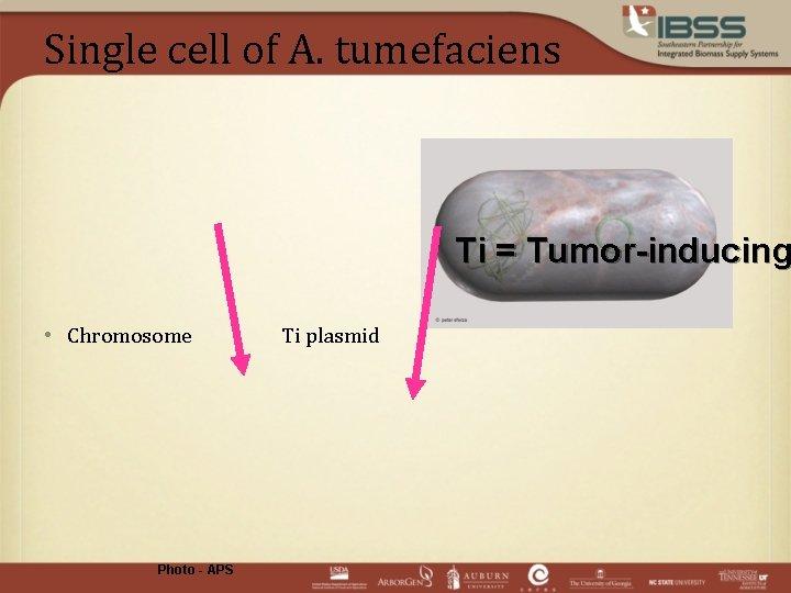 Single cell of A. tumefaciens Ti = Tumor-inducing • Chromosome Photo - APS Ti