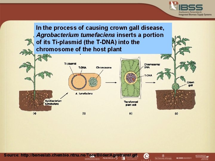 In the process of causing crown gall disease, Agrobacterium tumefaciens inserts a portion of