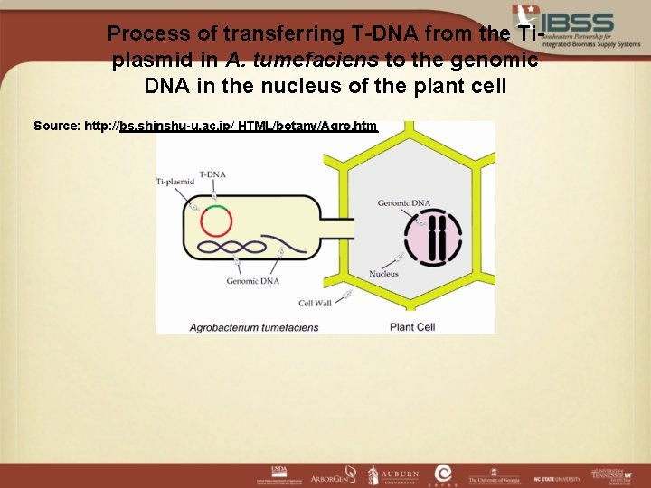 Process of transferring T-DNA from the Tiplasmid in A. tumefaciens to the genomic DNA