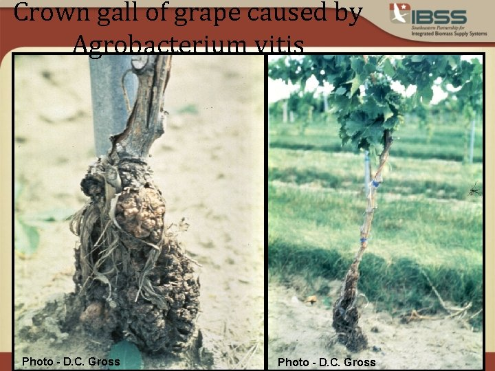 Crown gall of grape caused by Agrobacterium vitis Photo - D. C. Gross