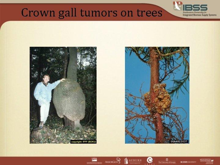 Crown gall tumors on trees