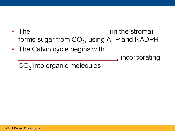 • The __________ (in the stroma) forms sugar from CO 2, using ATP