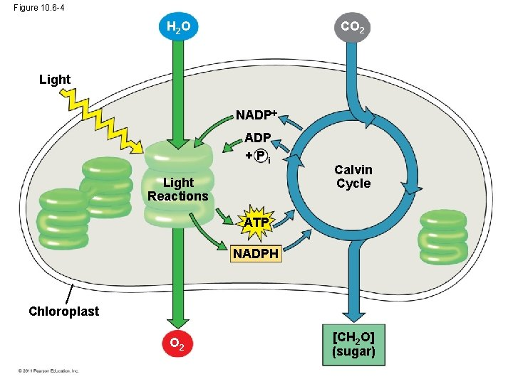 Figure 10. 6 -4 CO 2 H 2 O Light NADP +Pi Light Reactions
