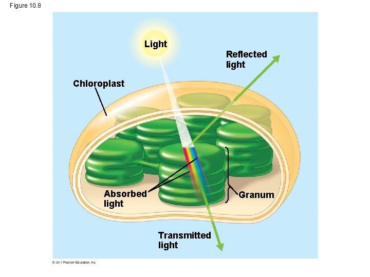 Figure 10. 8 Light Reflected light Chloroplast Absorbed light Granum Transmitted light