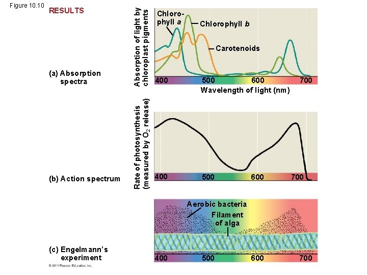 (a) Absorption spectra (b) Action spectrum Absorption of light by chloroplast pigments RESULTS Rate