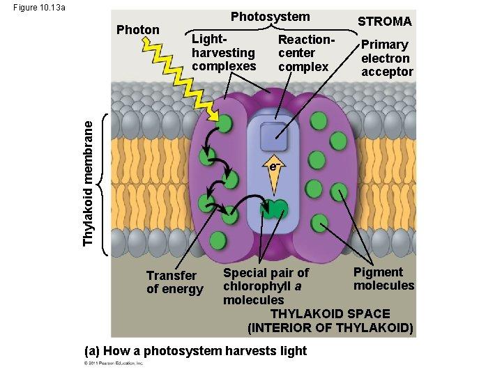 Figure 10. 13 a Lightharvesting complexes Thylakoid membrane Photon Photosystem Reactioncenter complex STROMA Primary