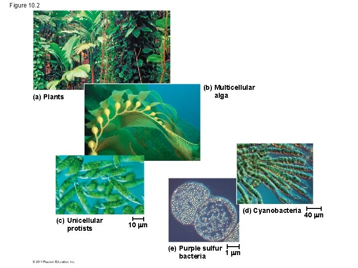 Figure 10. 2 (b) Multicellular alga (a) Plants (d) Cyanobacteria (c) Unicellular protists 10