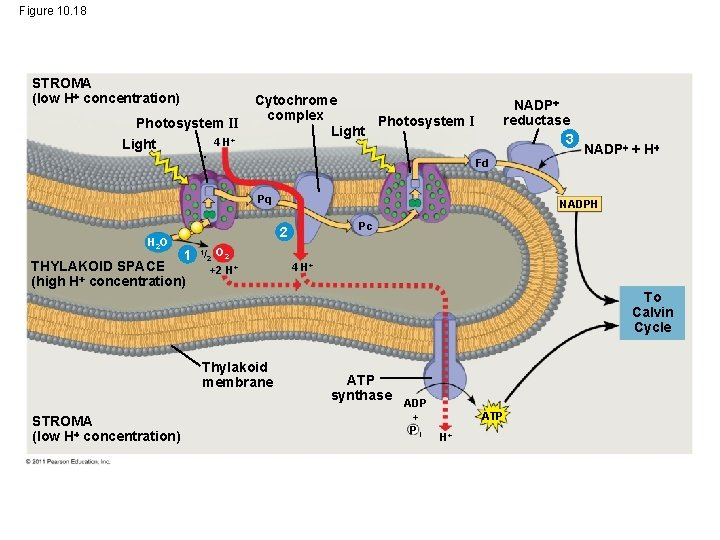 Figure 10. 18 STROMA (low H concentration) Photosystem II Light 4 H+ Cytochrome complex