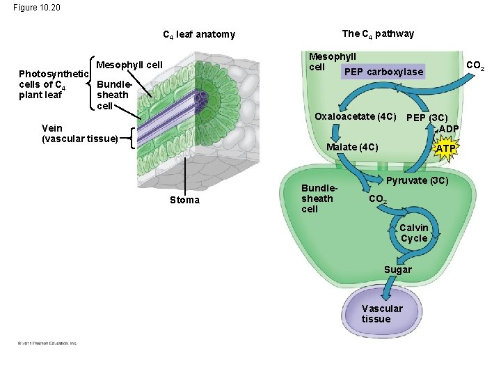 Figure 10. 20 The C 4 pathway C 4 leaf anatomy Mesophyll cell PEP