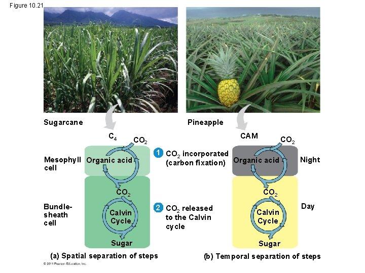 Figure 10. 21 Sugarcane Pineapple C 4 Mesophyll Organic acid cell CAM CO 2