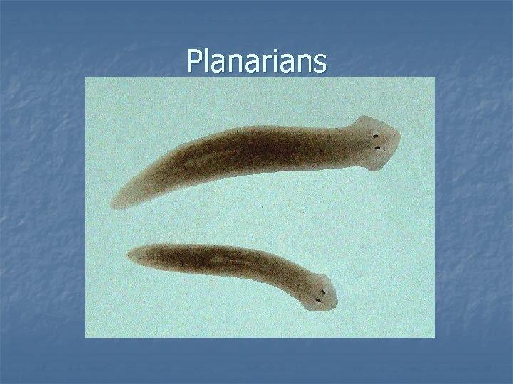 Planarians