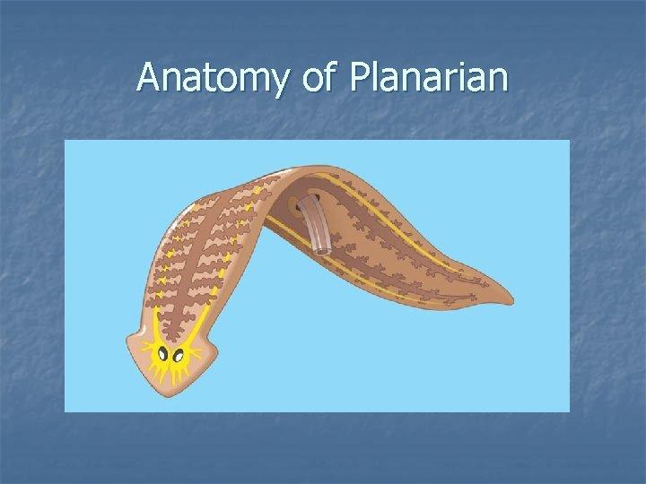 Anatomy of Planarian