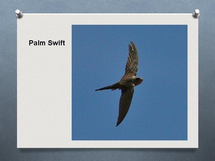 Palm Swift