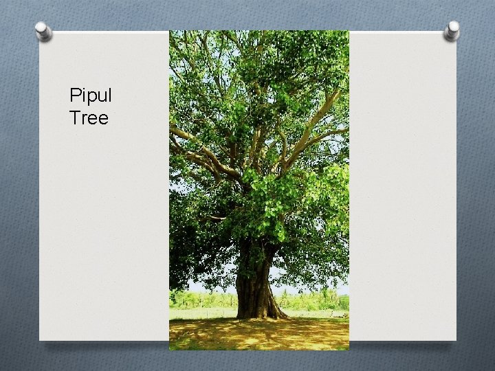 Pipul Tree