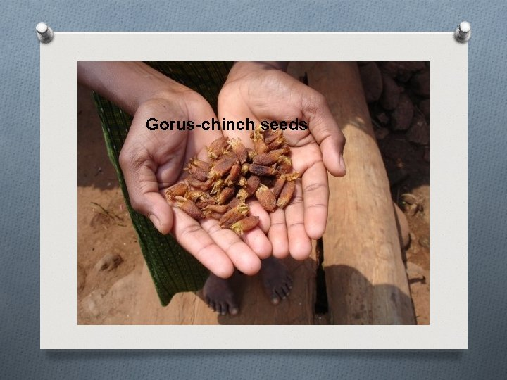 Gorus-chinch seeds