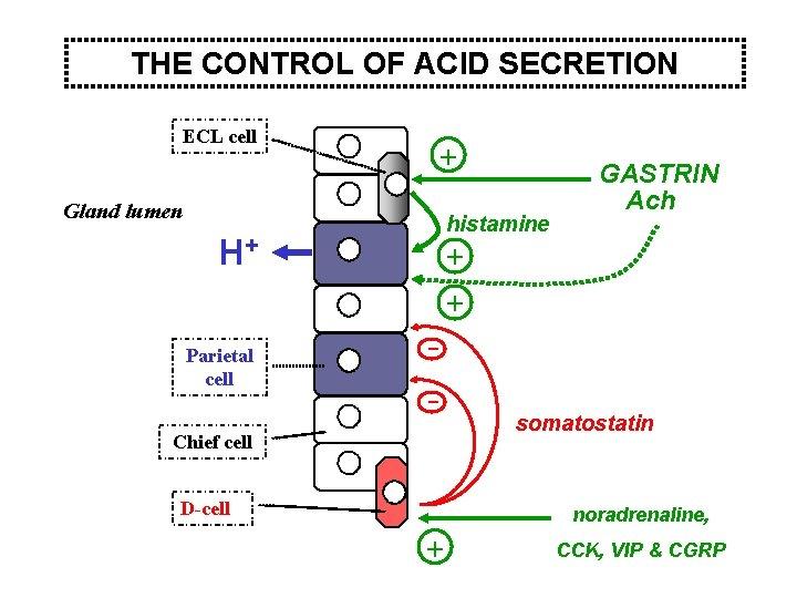 THE CONTROL OF ACID SECRETION ECL cell + Gland lumen histamine H+ Parietal cell
