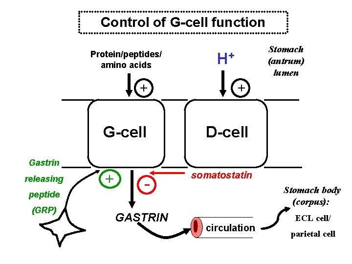 Control of G-cell function Protein/peptides/ amino acids + G-cell Stomach (antrum) lumen H+ +