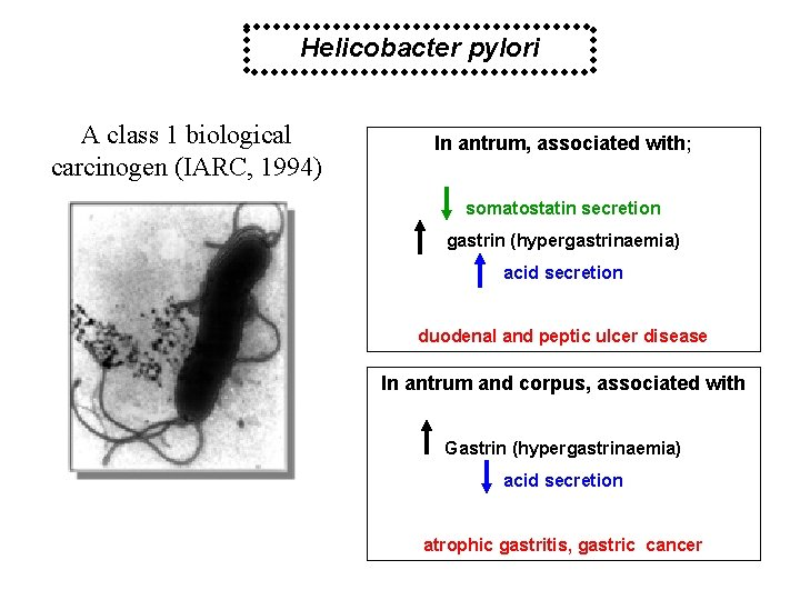 Helicobacter pylori A class 1 biological carcinogen (IARC, 1994) In antrum, associated with; somatostatin