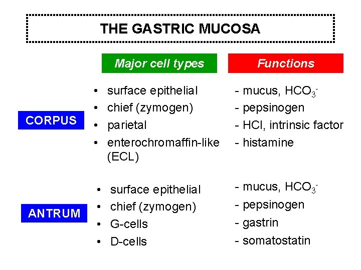 THE GASTRIC MUCOSA Major cell types Functions CORPUS • • surface epithelial chief (zymogen)