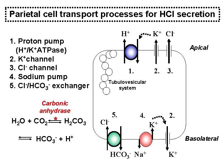 Parietal cell transport processes for HCl secretion 1. Proton pump (H+/K+ATPase) 2. K+channel 3.