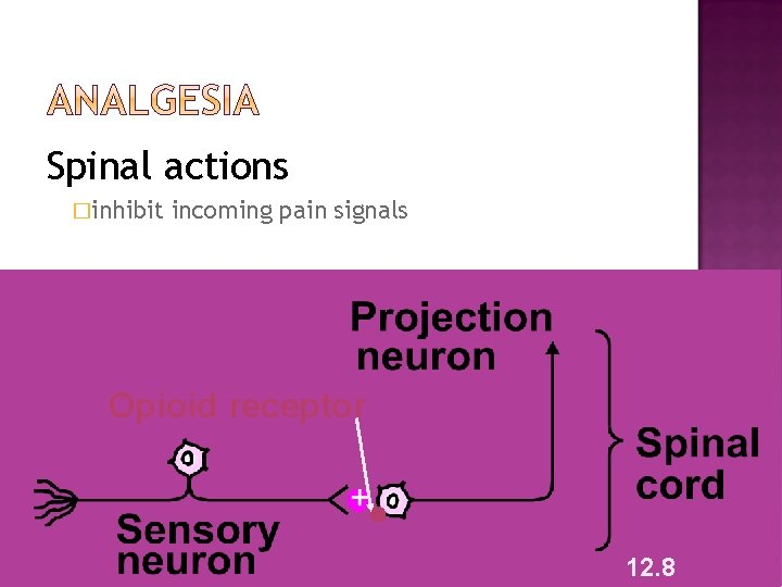 Spinal actions �inhibit incoming pain signals Opioid receptor 12. 8
