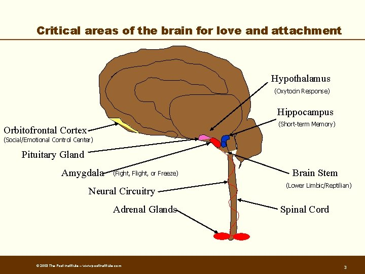 Critical areas of the brain for love and attachment Hypothalamus (Oxytocin Response) Hippocampus (Short-term